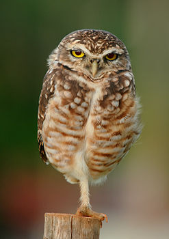 From Wikimedia Commons - A Burrowing Owl - Athene Cunicularia - near Goianiagoias, Brazil - Fourth placed finalist in the Picture of the Year Competition, 2013