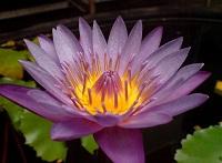 Lotus_india_cropped