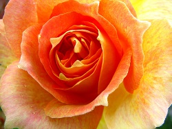 Drops_On_Rose_(260892746)