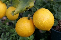 Pair_of_lemons