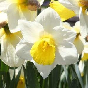 """Narciso (Narcissus pseudonarcissus), Jardín Botánico, Múnich, Alemania 2012-04-21, DD 01"" by Poco a poco - Own work."