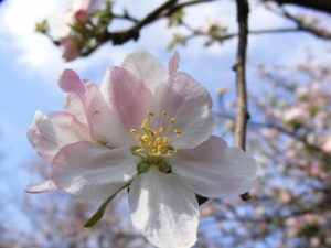 Apple-flowers-spring