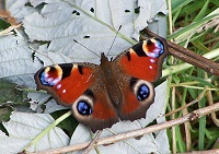 Peacock_butterfly_-_geograph_org_uk_-_1454690