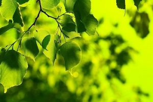 Bright_Green_Spring_Leaves_Creative_Commons